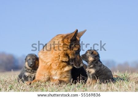 Female German Shepherd dog with two puppies