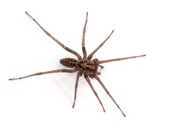 Female giant house spider, or hobo spider (Eratigena duellica) on a white wall. Isolated. Delta, British Columbia, Canada