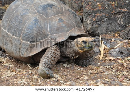 Female Giant tortoise galapagos island