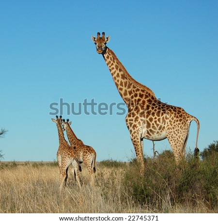 Female Giraffe with two calves in South Africa.