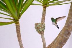 Female Glittering-Bellied Emerald hummingbird, Chlorostilbon Lucidus, flying back to her nest, Brazil, South America