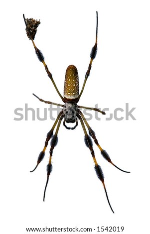 female golden silk spider, also called banana spider, found from the tropics to carolinas, this one in florida, with remains of prey at one leg