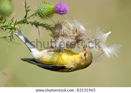 Female goldfinch clinging upside down to bull thistle to dig for seeds