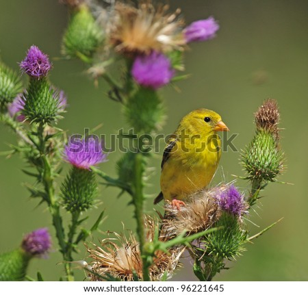 Female goldfinch perched on bull thistle plant with purple flowers