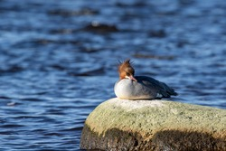Female goosander, Mergus merganser resting alone on a stone by the sea on a sunny day in Estonian nature
