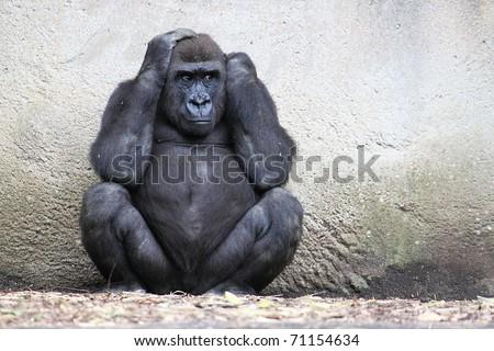 Female gorilla covering her ears