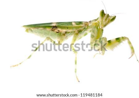 female green flower praying mantis isolated