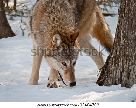 female grey wolf on snow smelling and hunting