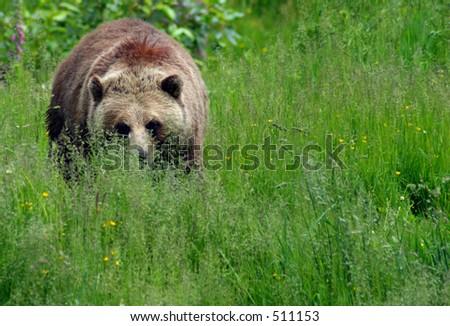 Weibliches Grizzly in der Wiese