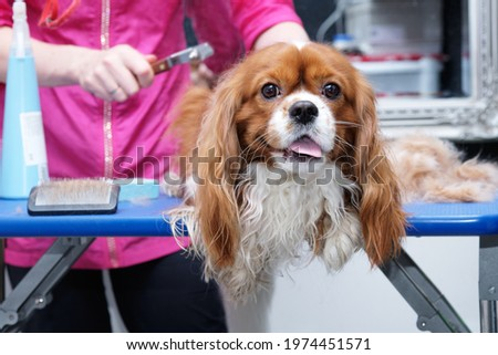 Female groomer brushes out a thoroughbred Cavalier King Charles spaniel studio for animals. Photo stock ©