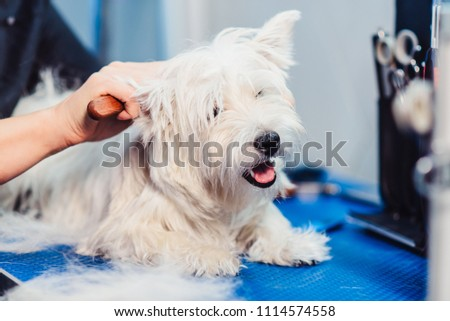 Female groomer haircut west highland white terrier dog in the beauty salon for dogs. Advertising of grooming and caring for dogs. the process of combing a dog's fur with special comb close up #1114574558