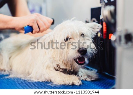 Female groomer haircut west highland white terrier dog on the table for grooming in the beauty salon for dogs. Advertising of grooming and caring for dogs. the process of combing a dog's fur #1110501944