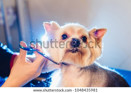 Female groomer haircut yorkshire terrier on the table for grooming in the beauty salon for dogs. process of final shearing of a dog's hair with scissors