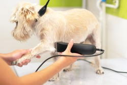 Female groomer trimming dog hair with clipper. Woman working in pet shop. Groomer trimming dog hair with clipper .