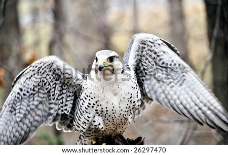 female gyrfalcon, bird of kings - stock photo