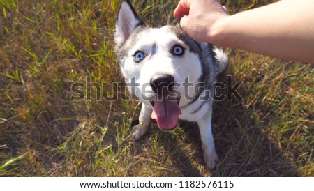 Female hand caress her siberian husky at field on sunset. Portrait of dog sitting on green grass at meadow and enjoy stroking from owner. Love and friendship with domestic animal. POV Close up. #1182576115