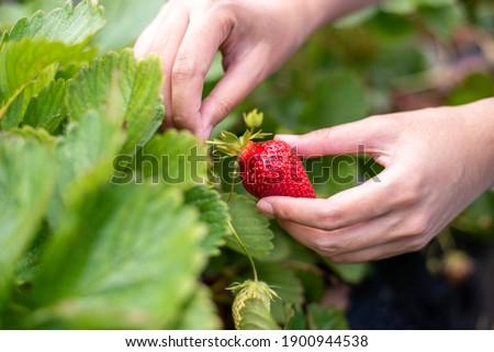 Female hand harvesting red fresh ripe organic strawberry in garden. Woman picking strawberries in field, closeup.