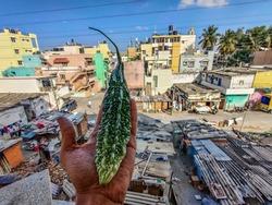 Female hand holding a fresh organic bitter gourd , it is also known as balsam apple , balsam pear, bitter cucumber bitter melon.