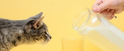 female hand holds a jug of milk. Milk is poured into a glass. A cat reaches for the jug. Yellow background. Horizontal shot. Concept - breakfast, pets.