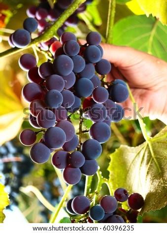 female hand picking moscato grapes within italian wineyard