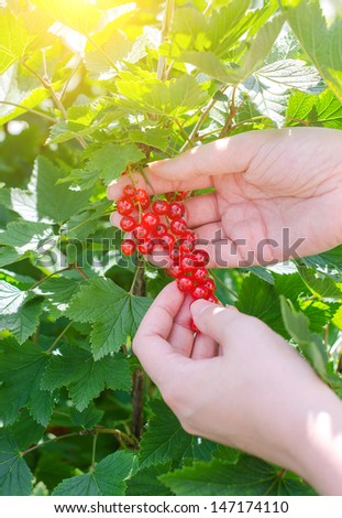 Female hand picking up redcurrant