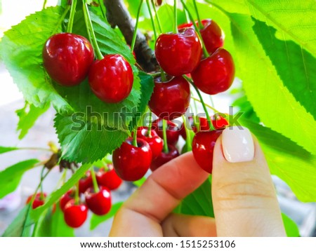 Female hand picks ripe red berries of a cherry from a tree branch. Summer harvesting. Girl picked cherries.