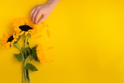 Female hand pluck petal of beautiful sunflowers bouquet on yellow background