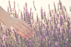 Female hand softly touching a bunch of lavender flowers - Close-up of the hand of a woman picking lavender ears