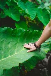 Female hand stroking touching huge lotus leaf