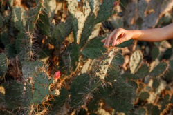 Female hand touches the tip of a long cactus thorn