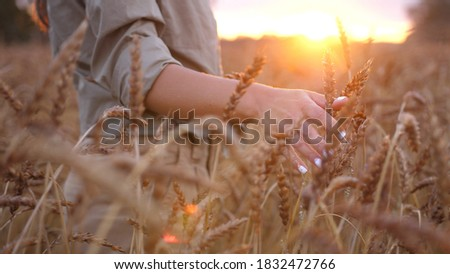 Female hand touching wheat. Agriculture harvest grove. Close Up of farmers hand over wheat growing in summer day. Agricultural growth and farming concept. Photo stock ©