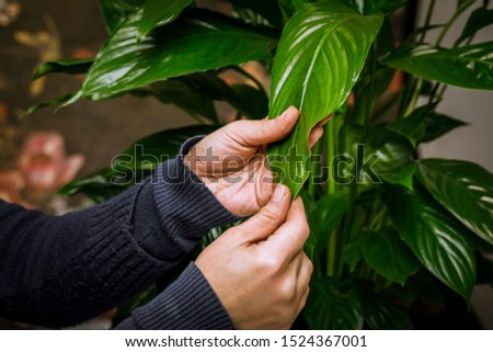 Female hand with a damp cloth, clean the leaf of a houseplant.