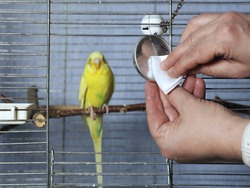Female hands cleaning a bird cage with white cloth, concept of pets care.