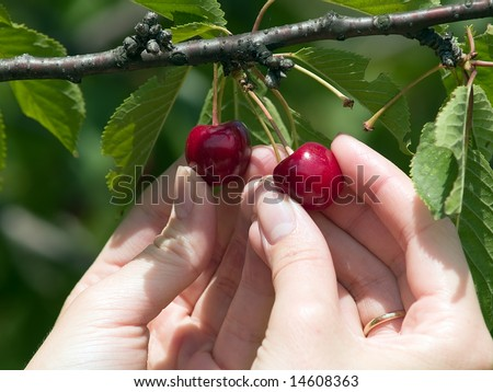 Female hands closeup harvesting red cherry from tree