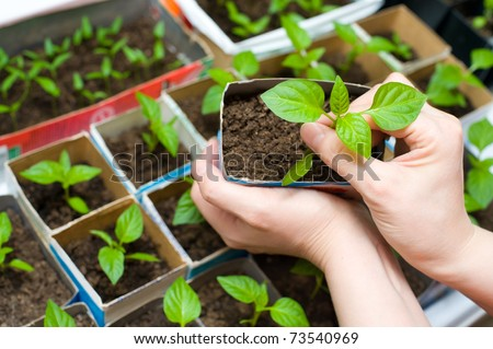 female hands hold a young seedling over boxes with other sprouts - stock photo