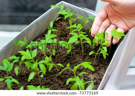 female hands hold young tomato seedlings in a box