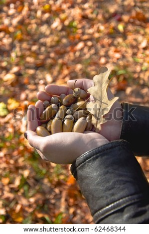Female hands holding a handful of acorns on the background of the fallen yellow leaves.