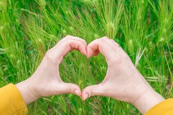 Female hands holding a heart in wheat field, heart shaped female hands against ripe rye field, harvest concept, festival