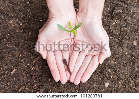 female hands holding a new maple tree sprout with green leaves