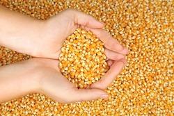 Female hands holding corn seeds, closeup
