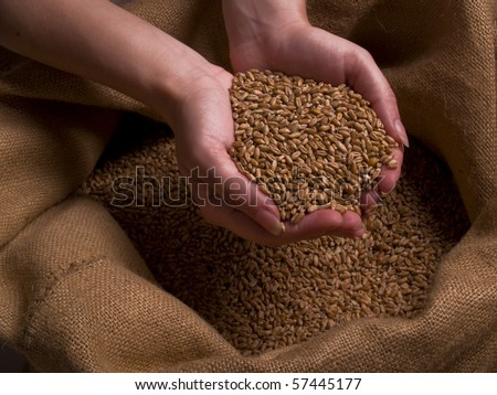 Female hands holding grain of wheat