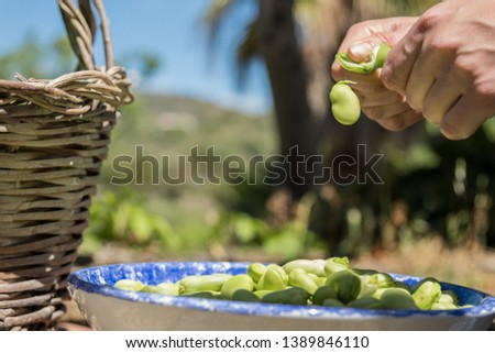 Female hands opening pods of fresh broad beans. Broad bean falling on a plate