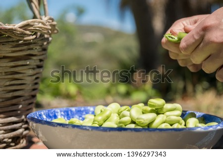 Female hands opening pods of fresh broad beans. Broad beans freshly harvested. Healthy eating, agriculture