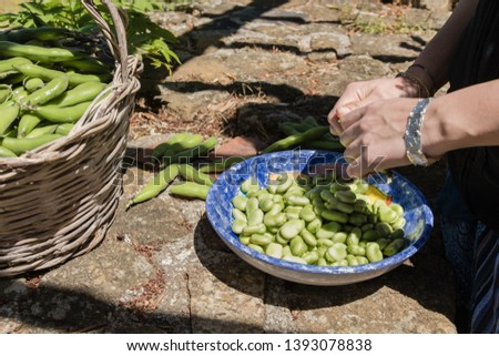 Female hands opening pods of fresh broad beans. Broad beans freshly harvested. Pods in a wicker basket and shelled seeds in a plate. Healthy eating, agriculture.