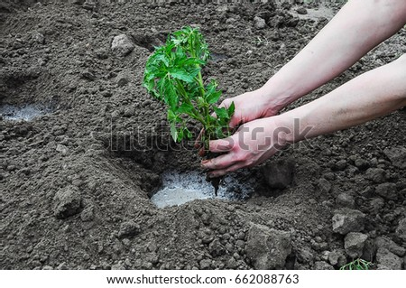 Female hands planting a tomato seedling - Shutterstock ID 662088763