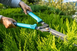 Female hands when pruning thuja with garden shears in the garden