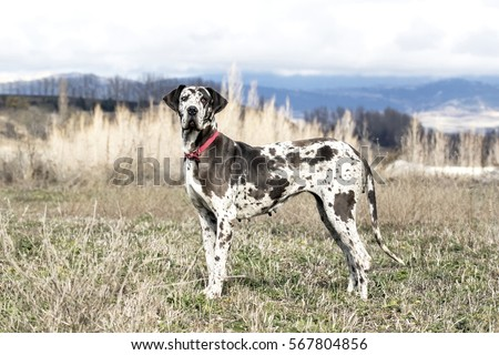 Female Harlequin Great Dane (also called german mastiff).  Foto d'archivio ©