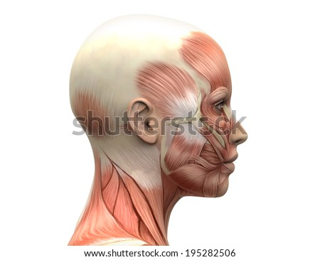 Female Head Muscles Anatomy Side view