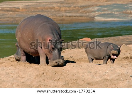 Female hippopotamus (Hippopotamus amphibius) with young calf, Kruger National Park, South Africa