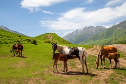 Female horses nursing foals in Kyrgyzstan